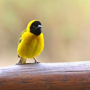 Yellow Bird.jpg