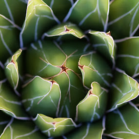 succulent plant by Donatella Tandelli - Nature Up Close Other plants ( abstract, plant, green, texture, leaf, vegetation, close up, veins, macro, nature, succulent plant, gardening, garden, natural, cactus )