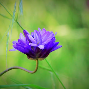 Glowing by Todd Ratisseau - Flowers Single Flower ( shade of lavender, beauty, one of a kind flower, color awesome )