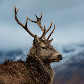 Glen Etive Stag by Calum Linnen - Animals Other ( glen coe, scotland, red deer, stag, close up )