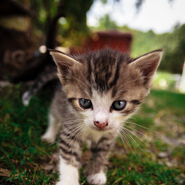 Sokrates Junior by Rombe Kasňa - Animals - Cats Kittens ( kitten, cat, little, cute, young, animal )