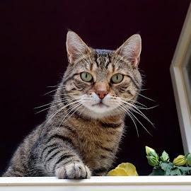 Katze im Fenster by Elke Krone - Animals - Cats Portraits ( schauen, katze, interessiert, sitzen, interesse, neugierig, aufmerksamkeit, offen, fenster )