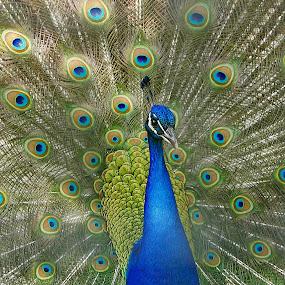 In Full Display by Virginia Folkman - Animals Birds ( bird, peacock )