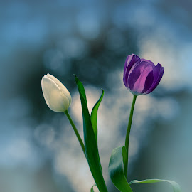 Tulips & bokeh by Patrizia Sapia - Flowers Flower Arangements ( purple, nature, white, tulips, flowers, spring )