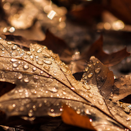 dew by Roselyne Rheaume - Nature Up Close Leaves & Grasses ( season, autumn, fall, rain drops, leaves, droplets )