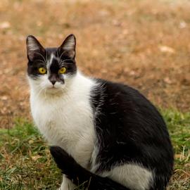 Strike A Pose by Julie Wooden - Animals - Cats Portraits ( cat, north dakota, nature, autumn, wildcat, hebron, fall, outdoors, stray, feline, animal,  )