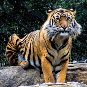 handsome tiger at KC zoo.JPG