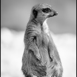 Meerkat by Dave Lipchen - Black & White Animals ( meerkat )