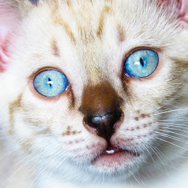 Blue eyed boy by Jana  Malherbe - Animals - Cats Kittens ( kitten, white, snow, cute, blue eyes )
