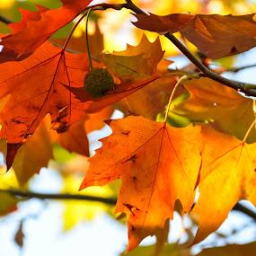 Autumn colors by Kati Raileanu - Nature Up Close Leaves & Grasses