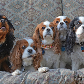 Cavaliers by Angie Arnold - Animals - Dogs Portraits ( cavalier, dogs, king charles spaniel )