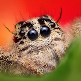 Relax Man! by Ronny Overhate - Animals Insects & Spiders ( macro, jumping spider, colorfull, insect, hyluss diardi, heavy jumper )