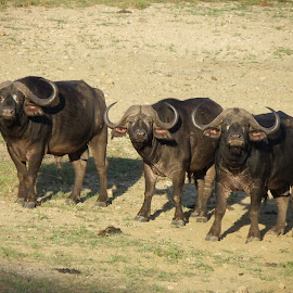 Buffalo bulls by Alison Fitzgerald - Animals Other Mammals ( buffalo, dangerous animals, wild animals, wildlife, african wildlife )