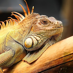 Iguane au soleil by Gérard CHATENET - Animals Reptiles