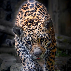 Jaguar (Panthera onca) by Ari Wid - Animals Lions, Tigers & Big Cats ( big cat, jaguar, cat, tiger, panther,  )