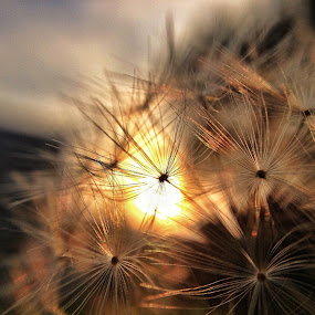 Taraxacum macro by Stefano Rho - Landscapes Sunsets & Sunrises ( macro, nature, pwcautumn, flowers, sun )