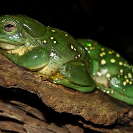 Magnificent Tree Frog by Mel Stratton - Animals Amphibians ( magnificent, frog, magnificent tree frog, tree frog, amphibian, splendid )