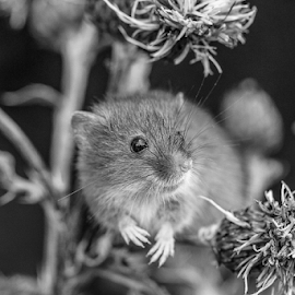 Mouse by Garry Chisholm - Black & White Animals ( macro, mammal, nature, rodent, harvest mouse, mice, garry chisholm )