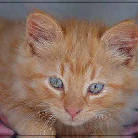 by Jan Arvid Solem - Animals - Cats Kittens ( charming, cozy, cat, kitten, ginger, bright, pet, shining, lovely, friendly )