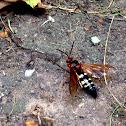 Cicada Killer Wasp (Eastern Cicada Killer Wasp)