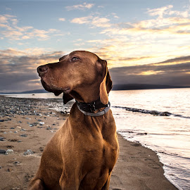 My Noble Friend by Paul Smith - Animals - Dogs Portraits ( louis, gun dog, hunting dog, beautiful dog, vizsla, beach, new zealand )