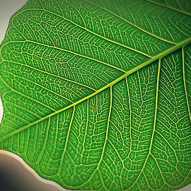 the Pipal leaf by Pradeep Kumar - Nature Up Close Leaves & Grasses