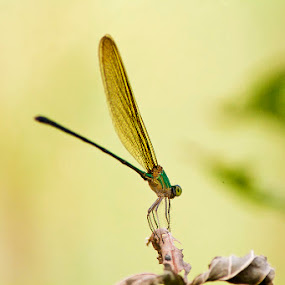 Standing tall on the leaf by Soumish De - Animals Insects & Spiders ( macro, nature, wildlife, insects, dragonfly, close up )