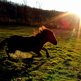 ~ Running Free by Carly Stine - Animals Horses ( free, horse, fall, https://www.facebook.com/pages/farm-4c-photography/188358334559611, sunlight, running )