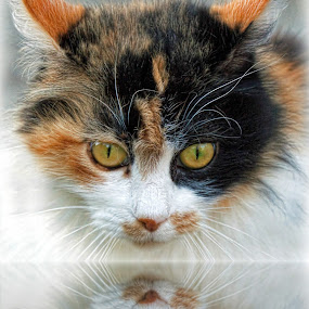 Kitty reflections by Susan Foss - Animals - Cats Portraits ( calico, cat, reflections )
