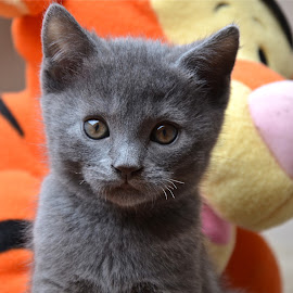 Chartreux kitten by Serge Ostrogradsky - Animals - Cats Kittens