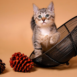 Timber by Ranee Rose - Animals - Cats Kittens ( cats, animals, kiittens, autumn, pets, whiskers, paws, cute, tabby )
