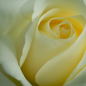 Yellow rose by Sirinat Tanamai - Nature Up Close Flowers - 2011-2013