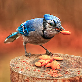 One is not Enough by Luc Belisle - Animals Birds ( bird, bluebird, almonds, hdr, blue, backyard, blue jay, almond eater )