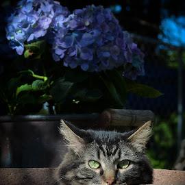 by David Hall - Animals - Cats Portraits