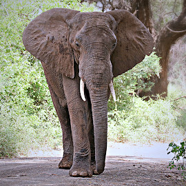 Ellie Roadblock by Pieter J de Villiers - Animals Other