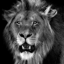 Ken B&W by Shawn Thomas - Black & White Animals ( pride, predator, lion, cat, carnivore, mane, wildlife, king, large )