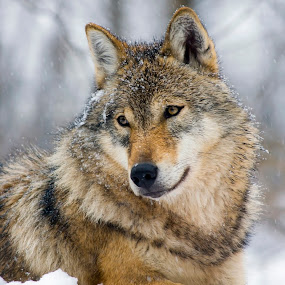 Winter Wolf by Lajos E - Animals Other Mammals ( canis, europe, wood, carnivores, forest, gray, woods, snowing, carnivore, canid, winter, european, tree, wolf, lupus, snow, grey, canidae,  )