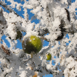 The Last Apple by Suzanne Nichols - Nature Up Close Gardens & Produce ( fruit, winter, blue, green, frost, apples, frozen )