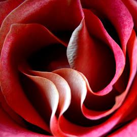 by Chandal Chenier - Flowers Single Flower ( orange, pink, rose, petals )