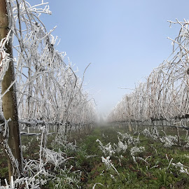 Ice Grapes tree by Antonio Barata - Landscapes Prairies, Meadows & Fields ( winter, grapes, ice, alijo, portugal, flower,  )