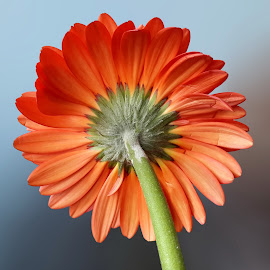 Gerbera by Prema Pangi - Flowers Single Flower