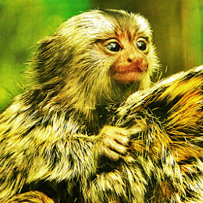Baby Marmoset by Emma Justice - Animals Other Mammals