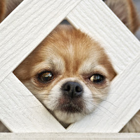 Cutie by Keri Harrish - Animals - Dogs Portraits (  )