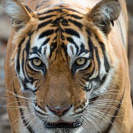 Tiger by PC Meena - Animals Lions, Tigers & Big Cats
