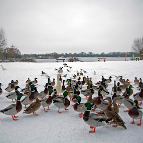 Duck party by Peter Spowage - City,  Street & Park  City Parks