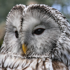 Ural owl by Garry Chisholm - Animals Birds ( bird, garry chisholm, ural, nature, owl, wildlife, prey )