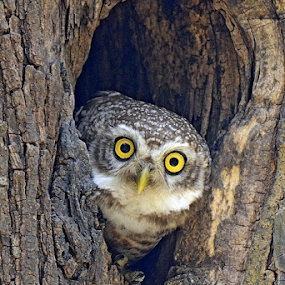 Spotted Owlet by Arindam Chakrabarty - Animals Birds ( bird, owl )
