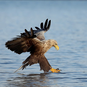 Catching claws...... by Lillian Utstrand Gulliksen - Animals Birds ( white tailed eagle, eaglewings, sea eagle, claws, eagle fishhunting,  )