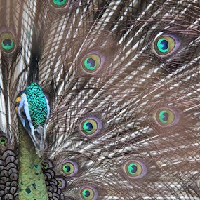 Beautiful Tail by Mhd. Qadarsyah - Animals Birds
