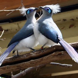 Two Birds of a Feather by Rachel Eickman - Novices Only Wildlife ( pair, blue, pretty, perch, birds )